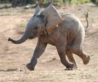 Excited baby African elephant running