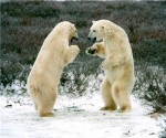 polar_bear_fight_finance_canada