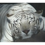 white_tiger_gold