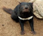 Iron ore mine faces fresh charges of risking Tasmanian devils
