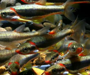Hydraulic fracturing responsible for Kentucky minnow deaths