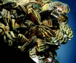 Liquid potash helps Canada control mussels plague