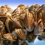 Minnesota dumps potash into lake to kill zebra mussels