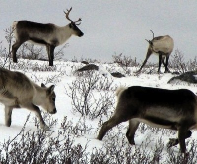 Nunavut board allowed mining exploration on Bathurst caribou calving grounds