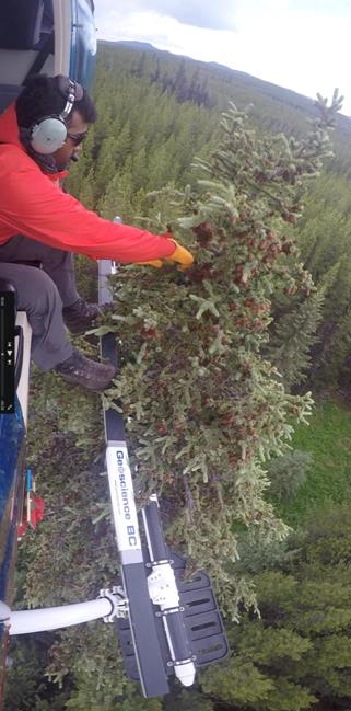 Geoscience BC collected 421 samples from the tops of 20-25 metre tall spruce trees using a helicopter to determine whether trace amounts of metals found in trees could lead prospectors to the next big mineral discovery.