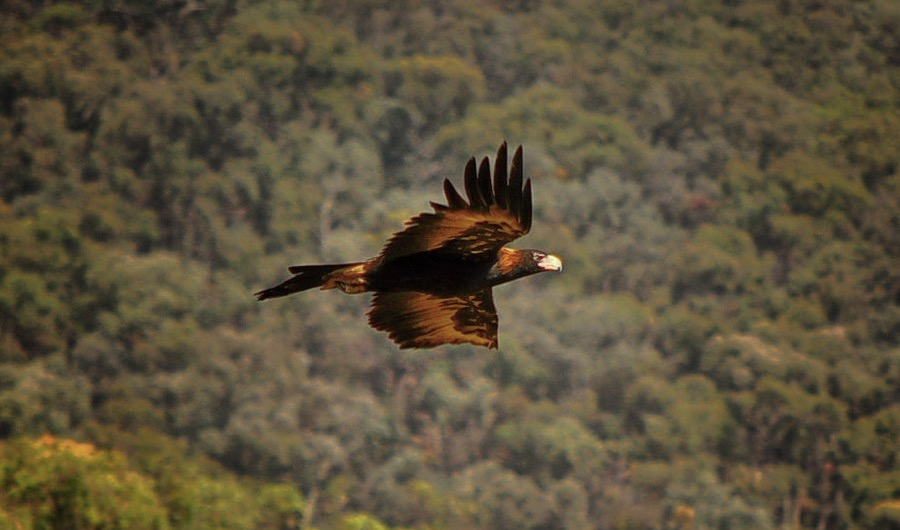 VIDEO: Eagles attack and take down drones at remote mining site in Australia