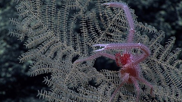 New coral species prized for mining potential